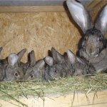 Кормящая крольчиха с кроликами в гнезде