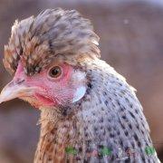 Как определить возраст курицы обычной или несушки и как отличить старую от молодой при покупке (с видео)