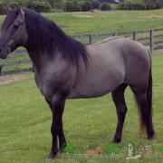Обзор чалой масти лошадей: ее описание и фото