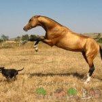 Лошадка гоняет собаку
