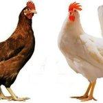 Петушок и курица породы шейвер