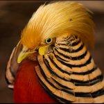Величественный золотой фазан