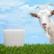 Окот козы: по каким признакам определить беременность