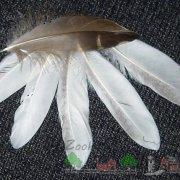 Мускусные утки (барбарийская порода, шипун или индоутка): разведение и содержание с фото и видео