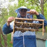 Пчеловодство для начинающих: вывод пчелиных маток, обучающее видео и календарь по разведению пчеломаток