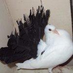 Чернохвостый белогрудый Павлин