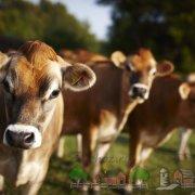 Обзор породы коров Абердин Ангус, их фото и видео