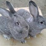 Самец и самка кролей породы шиншилла