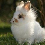 Ангорский карликовый кроль