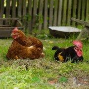 Как можно проверить которая из куриц несет яйца