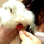 Белой крольчихе предлагают клубнику