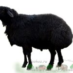 Черная гиссарская молодая овца