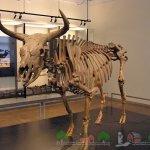 Скелет тура в музее