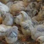 Цыплята породы мастер грей