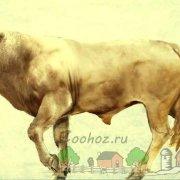 Обзор мускусного быка, его характеристика и фото