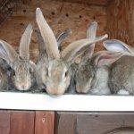 Крольчата Ризенов в клетке