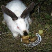 Каким зерном кормить кроликов и кормление по методу Золотухина: советы с фото и видео