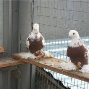 Узбекские бойные голуби, их обзор, видео и фото