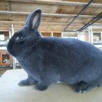 Взрослый обычный кролик