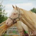 Лошадь с желтым отливом