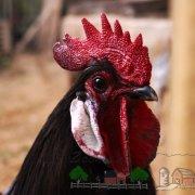 Описание породы кур Золотой Орпингтон: ее характеристика, содержание цыплят и разведение с фото и отзывами