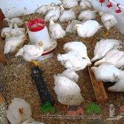 Почему дохнут цыплята и что делать в таком случае