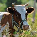 Корова из графства Айршир