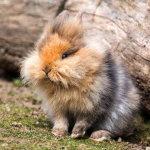 """Кролик """"Львиная головка"""" на природе"""