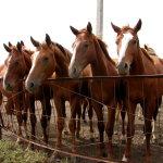 Молодые лошади с белыми проточинами на носу