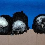 Три голландские белохохлые несушки