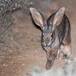 Кролик в ночное время суток