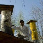 Пчеловод возле колодных ульев