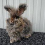 Ангорский кролик коричневого окраса