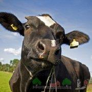 Болезнь послеродовой парез у коров: его симптомы и лечение