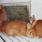 Бургундские кролики в клетке