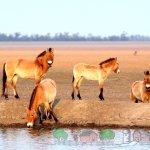 Лошади Пржевальского саврасой масти