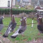 Группа рябых турманов