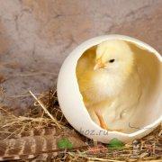 Можно ли мыть яйца перед закладкой в инкубатор и как подготовить к инкубации в домашних условиях