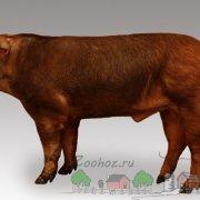 Описание пород свиней: Кармалы, Корейские, Скороспелые мясные, Пьетрен, Гемпшир, Эстонская беконная и Уржумская