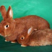 Забой кроликов в домашних условиях: советы и видео