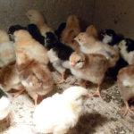 Цыплята ливенской ситцевой