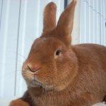 Милая мордочка рыжего кролика