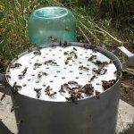 Пчелы пьют воду