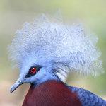 Голубохохлый самец с пушистым веером на голове