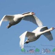 Описание породы лебедя Кликун, его фото и видео обзор