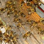 Больные нозематозом пчёлы