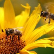 Зачем пчелы делают мед?