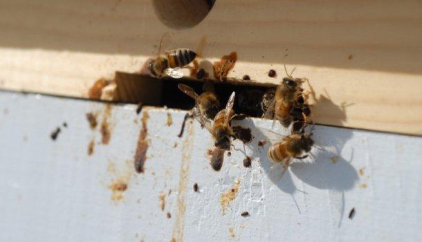 Все о лечении пчел от различных болезней: методы и советы