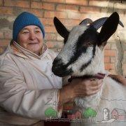 Вымя козы: ее строение, уход, фото и видео обзор