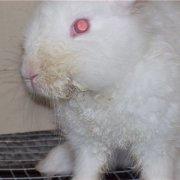 Глисты у кроликов: лечение и симптомы, глистогонные препараты и советы с фото